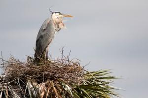Blue Heron's Treetop Nest