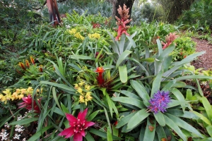 Colorful Blooming Bromeliads