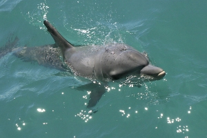 Wild Dolphin Surfacing