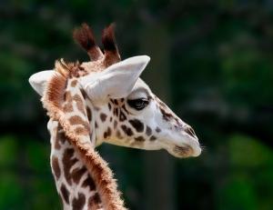 Baby Masai Giraffe Melvin