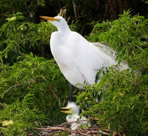 Great Egret with Baby in Nest