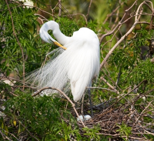 Great Egret and Her Blue Eggs
