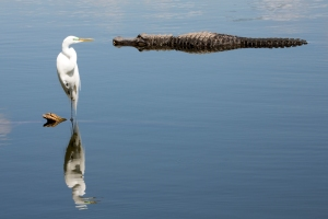 Great Egret and Alligator in Pond