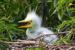Closeup of Baby Great Egret