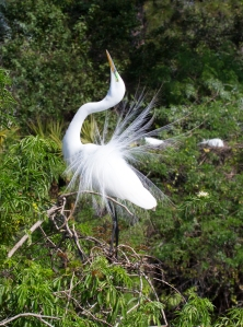 Great Egret's Mating Display