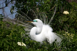 Great Egret's Feather Display
