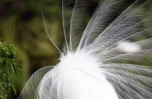 Great Egret's Lacy Feathers