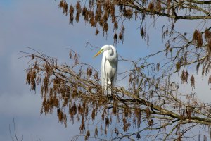 Great Egret in Bald Cypress Tree