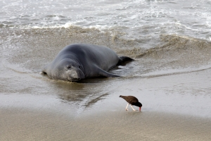 Elephant Seal Watching an Oystercatcher