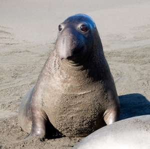 Elephant Seal's Big Eyes
