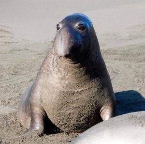 Elephant Seal's Big Eyes