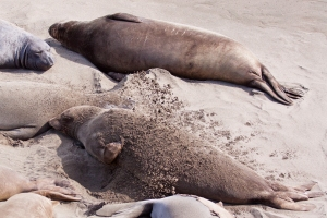 Elephant Seal Flipping Sand to Cool Down