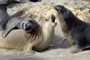 Scuffle among Young Male Elephant Seals