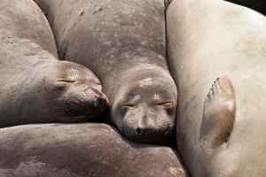 Trio of Sleeping Elephant Seals