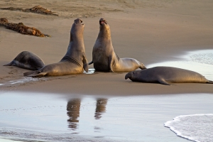 Mock Battles among Young Male Elephant Seals