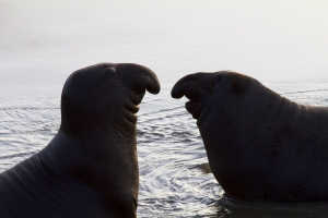 Silhouette of Young Male Elephant Seals