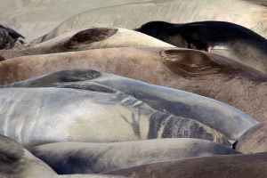 Backs of Sleeping Elephant Seals