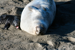 Mother and Baby Elephant Seals
