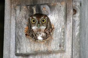 Eastern Screech Owl in Nest Box