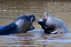 "Very Young ""Weaner"" Elephant Seals Playing"