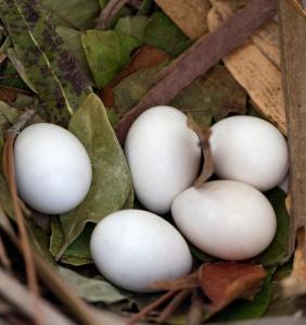 Purple Martin Nest with 5 Eggs
