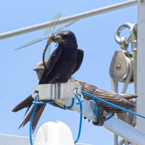 Purple Martin with Dragonfly for Babies