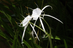 White Spider Lily Side View