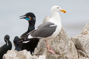Brandt's Cormorant and Western Gull