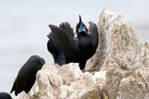 Brandt's Cormorant Mating Display