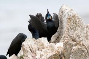 Brandt's Cormorant Mating Display