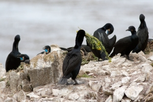 Male Brandt's Cormorant Carrying Flowers as Nesting Material