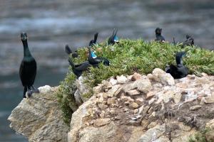 Brandt's Cormorants Nesting on Clifftop