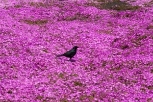 Brewer's Blackbird and Ice Plants