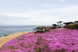 Field of Pink Trailing Carpet Ice Plants