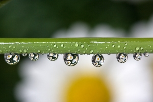 Daisies Magnified by Water Drops Hanging from Plant Stem