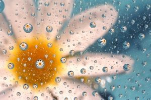 Daisy Magnified by Water Drops on Glass with     Sky Blue Background