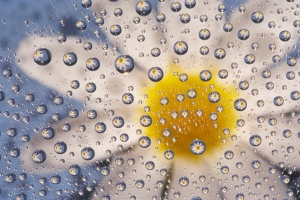 Daisy Magnified by Water Drops with Dark Blue Background