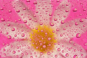 Daisy Magnified by Water Drops with Pink Background