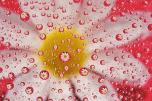 Daisy Magnified by Water Drops with Red Background