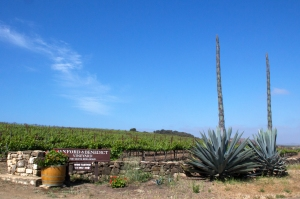 Vineyard Entrance Sign and Agave with Massive Flower Stalks