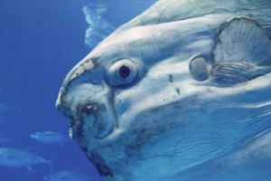 Closeup of Ocean Sunfish