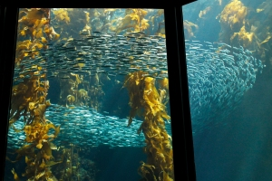 Sardines in Kelp Forest