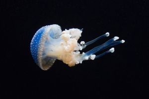 Blue Spotted Jelly