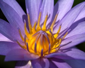 Original Waterlily Photograph