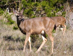 Black-Tailed Mule Deer among Monterey Pine