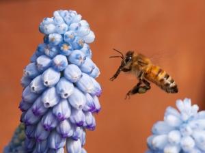 Honeybee and Grape Hyacinth Flower