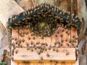 Honeybees in Birdhouse
