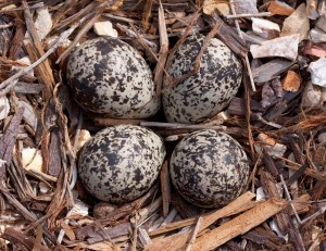Killdeer Eggs in Nest