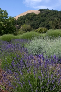 View of Matanzas Creek Lavender Gardens