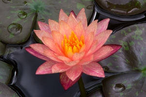 Apricot Waterlily